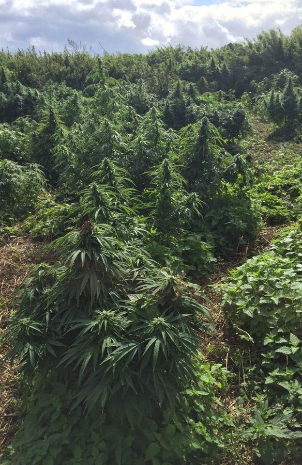 _85748446_v310-15cannabisforest2