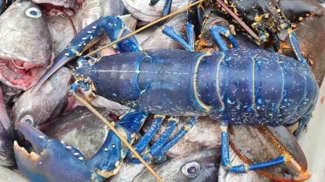 kék homár