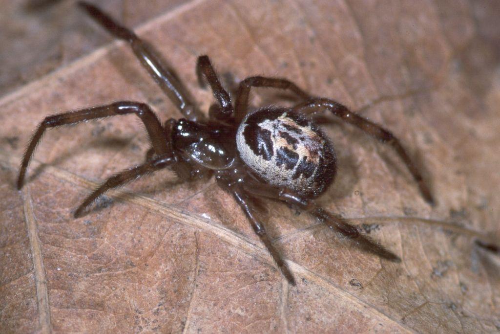 Ilyen Anglia legmérgesebb pókjának a csípése 2