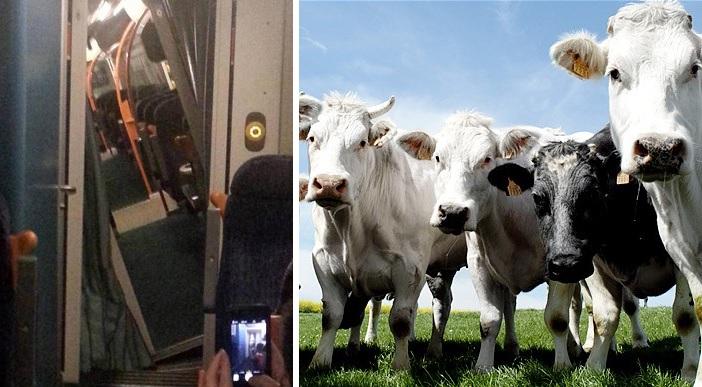 cows_1984161b