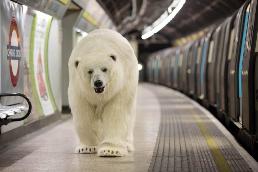 polarbear2701d
